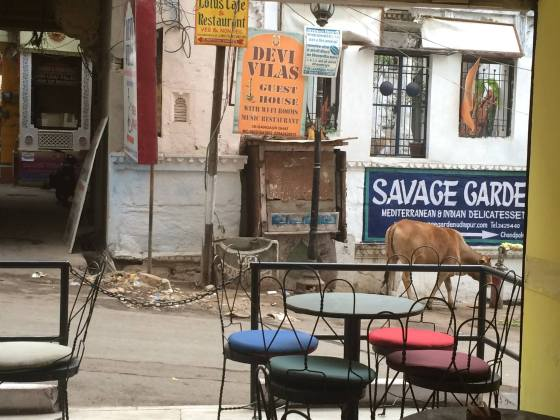 Udaipur cafe and local cow
